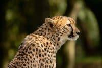 Wanddecoratie- Cheetah (L1)