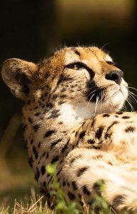 Wanddecoratie- Cheetah (S2)