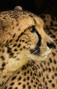 Wall Decoration- Cheetah (S3)