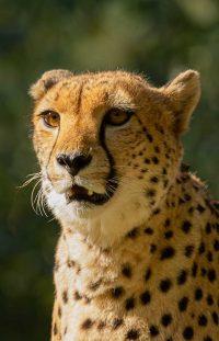 Wanddecoratie- Cheetah (S4)