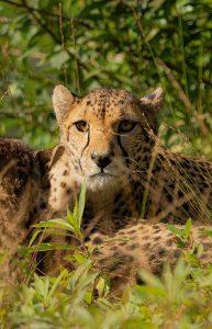 Wanddecoratie- Cheetah (S5)