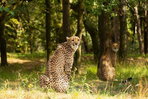 Wanddecoratie- Cheetah (L6)