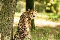 Wanddecoratie- Cheetah (L7)