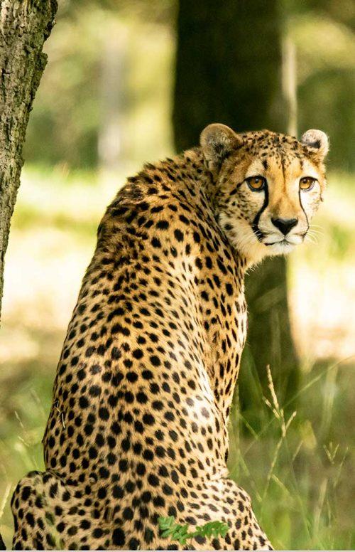 Wanddecoratie- Cheetah (S6)