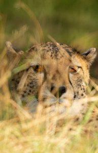 Wanddecoratie- Cheetah (S8)