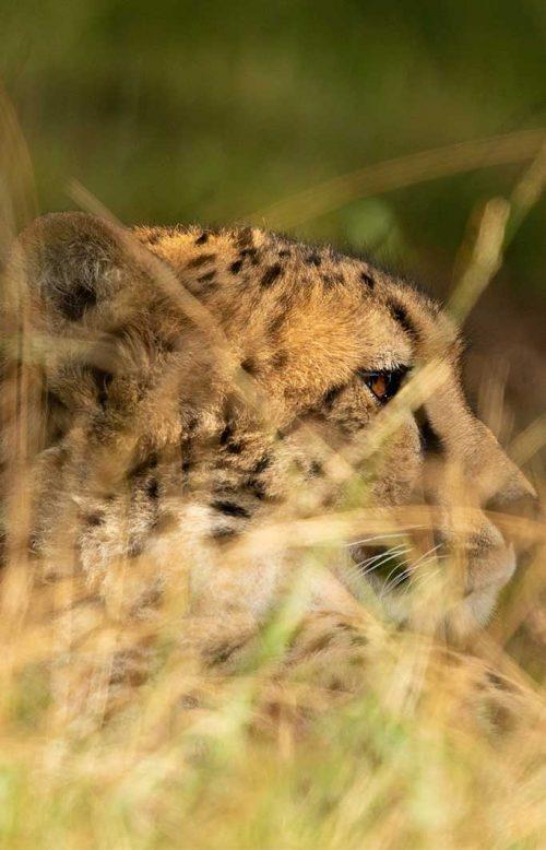 Wanddecoratie- Cheetah (S9)