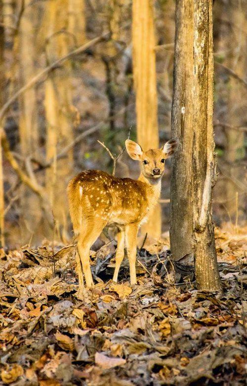 Wanddecoratie - Chital deer (S02)