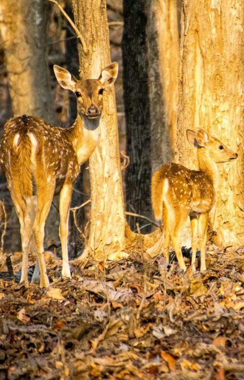 Wanddecoratie - Chital deer (S03)