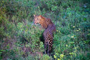 Leopard Yala block5 (L01)