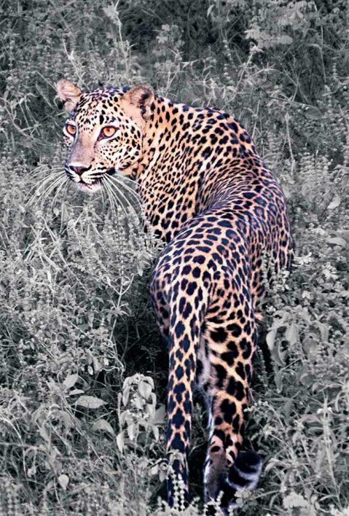 Wall decoration - Leopard (Sepia)