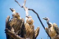 Wanddecoratie - Indian vulture(L05)