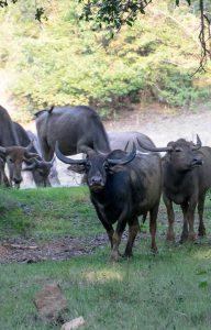 Wanddecoratie - Water Buffalo(S18)