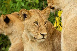 Wanddecoratie - Lion kill (L17)