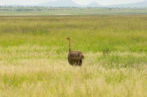 Wanddecoratie - Struisvogel (L15a)