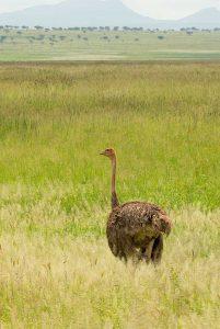Wanddecoratie - Struisvogel (S15a)