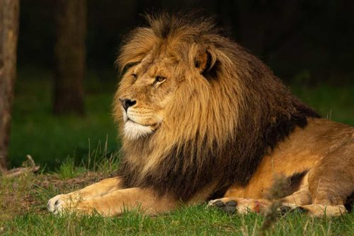 Lion-Serengeti-Tanzania