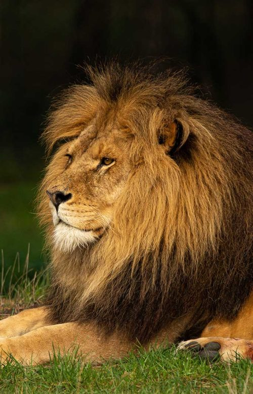 Lion Serengeti - Tanzania