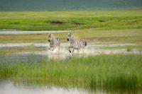 Zebra's Ngorongoro