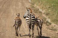 Ngorongoro zebra's