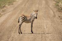 Zebrajong Ngorongoro