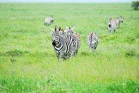 Zebras Ndutu