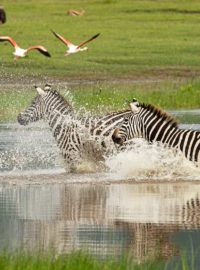 Zebra's Nogorongoro