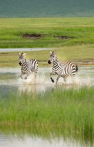 Zebras Ngorongoro