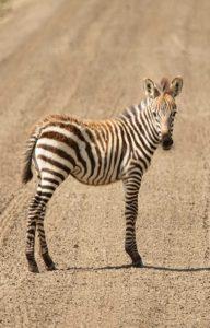 Ngorongoro zebra cub