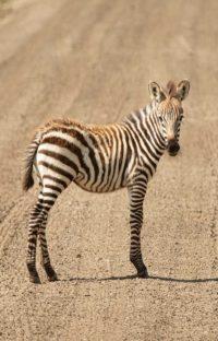 Ngorongoro zebrajong