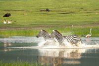 Zebra's Ngorongoro - Tanzania