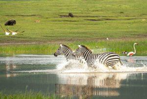 Zebras Ngorongoro - Tanzania