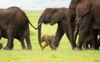 Olifanten Ngorongoro - diBond wanddecoratie