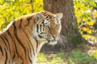 Amur tiger - Manchuria