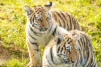 Amur tiger - tiger cub