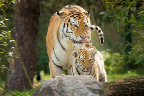 Amur tiger with cub - Manchurian