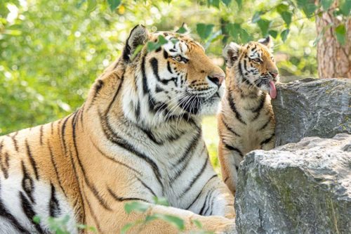 Amur tiger with young