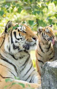 Amur tiger - with young