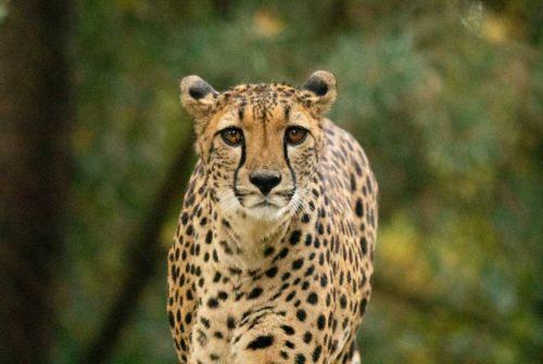 Cheetah Tanzania - L10