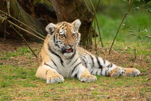 Amur tiger young