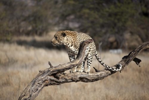 Wanddecoratie leopard